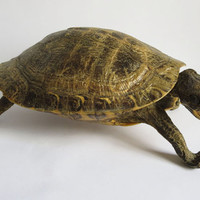 Vintage Whole Screaming Taxidermy Turtle