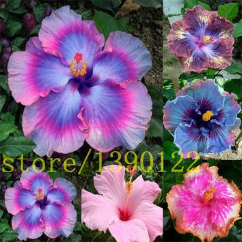 200 giant hibiscus seeds Dinnerplate Hibiscus /Perennial Flower /Huge 10-12 Inch Flower for home garden planting mixed colors