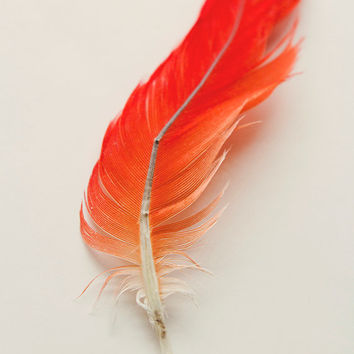 Red and Orange Feather 8x10 Fine Art Photography Print Home Decor Wall Art Photography Orange Home Decor Minimalist Photography