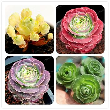 The Mountain Rose100 Pcs Green Rose Garden Greenovia Flower plant  Bonsai Succulent Plant Meaty Plant Flower Seeds Semillas