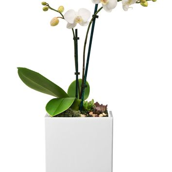 LIVE White Phalaenopsis in Ceramic Container - Ships Alone