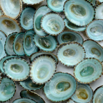 25 Natural Aqua Green Teal Limpet Seashells- Wedding and Beach Decor - Turquoise Bulk Craft Supplies, Vase Filler, Nautical Ocean, Aquarium