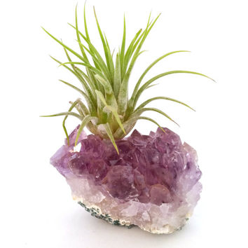 Amethyst Cluster with Air Plant , Boho  Mother's Day Gift ,  Ionantha  Gemstone , Desk Accessory , Air Plant Garden  , Crystal Decor