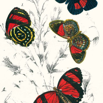 Vintage Picture of Butterflies, Print of Red Butterflies, Genuine Antique Colour Print,  Papillons, Mariposas, Schmetterlinge