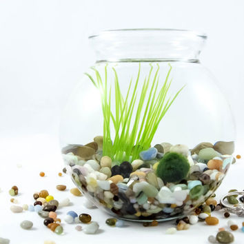 Marimo Moss Ball, Terrarium with FREE gift tag.