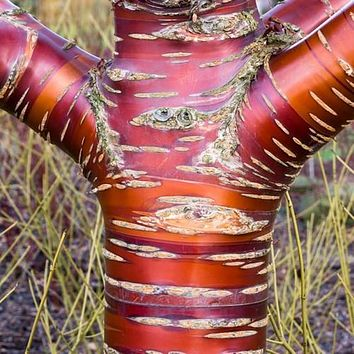 Tibetan Birchbark Cherry Tree Seeds (Prunus serrula) 10+Seeds