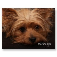 Yorkie Missing You Post Cards from Zazzle.com