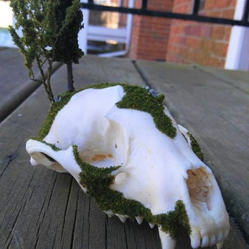 Forest Skull Island - Decor Curiosities Oddities - Raccoon Skull - Taxidermy - Home Decor - Landscape - Terrarium - Bone Art - Woods - Fall
