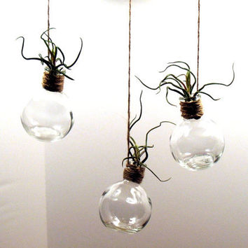 Hanging Glass Terrarium With Crazy Bulbosa Air Plant