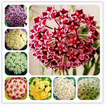 24 Color Orchid Ball Rare Ball Orchid Flower Perennial Plant Hoya Carnosa Seed Bonsai Seeds Pot Plant For Home Garden 100Pcs