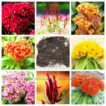 Hot Selling 8 Color Available Cockscomb Seeds Bonsai Flower Seeds Celosia cristata Potted Plants Variety Complete - 100 PCS