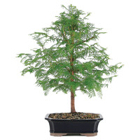 "20"" Dawn Redwood Bonsai, Live, Trees"