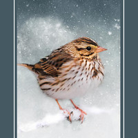Snow Sparrow Song Bird Christmas Cards