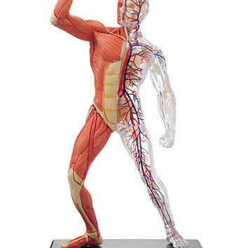 3-D HUMAN MUSCLE & SKELETON PUZZLE | Anatomical Three Dimensional, 3D Puzzles Of Muscles and Bones, Skeletal, Veins, Study Guide, Helpful For Pre-Med, Students, LEarning, Educational, Fun, Anatomy | UncommonGoods