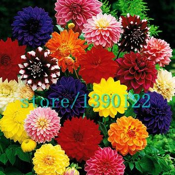 100pcs Dinner Plate rainbow Dahlia seeds, Chinese Peony bonsai flower seeds ,22 colors to choose, for home garden plantting