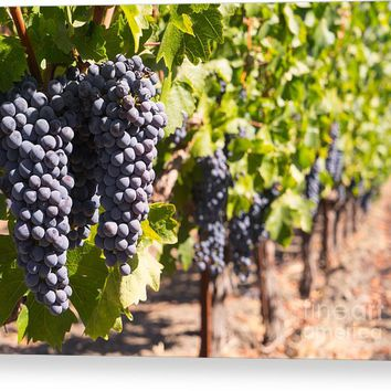 Grapes On The Vines In The St Helena Vineyards Napa California Dsc1731 Canvas Print