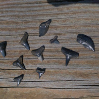 10 Assorted Fossilized Shark Teeth - Peace River Fossils - Jewelry making supplies