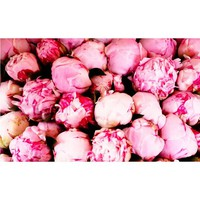 Pink Peonies by Rebecca Plotnick