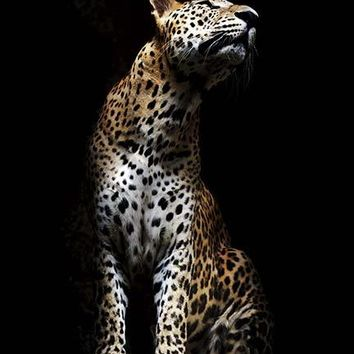 Leopard In Light Poster