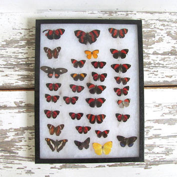 Vintage Framed pressed Butterflies. Riker Specimen box with red and yellow butterflies. Wall hanging picture