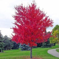 30 Seeds/pack Of Bonsai American Red Maple Tree Seeds Big Plants Home Garden Flower Seeds