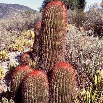 Mexican lime Cactus Seeds (Ferocactus Stainesii) 20+Seeds