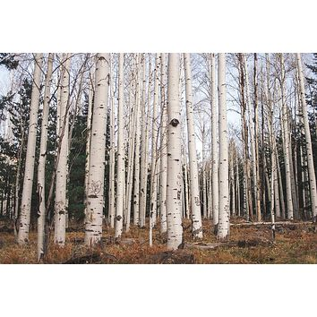 Trees of Reason, Birch Trees, Arizona Wall Art Print - Many Sizes