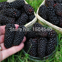 100nutritious Pre-Stratified Jumbo Thornless Blackberry Seeds juicy sweet healthy fruit DIY Home Garden Fruit Seeds