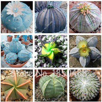 Semillas De Flores 100 Seeds Succulents Seeds Mini Cactus Seeds Indoor flower seeds perennial garden ornaments
