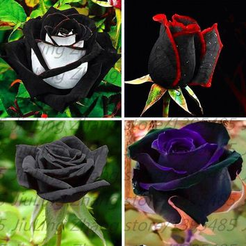 100pcs/bag Black Rose plant with red edge, rare color popular garden flower  Perennial Bush or Bonsai Flower for home garde