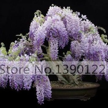 10/bag Mini wisteria Bonsai Seeds, Heirloom  Wisteria Seeds Bonsai Tree Seeds Wisteria sinensis  Vine Violet Blue Flowers