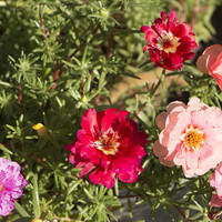 Heirloom 2000 Seeds Portulaca sun Purslane Moss Rose Pigweed Mixed Garden Flower Bulk Seeds B0115
