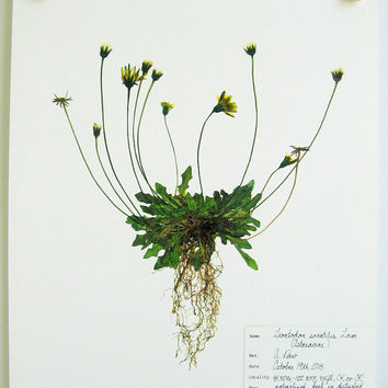 Real Pressed Botanical PRINT, Original Herbarium Specimen Art, Scientific Art, Common Weed Art, Yellow Wildflower, Print of Original