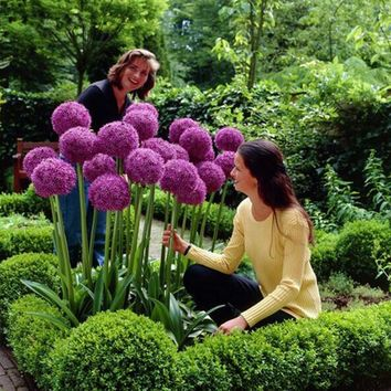 100 seeds/pack Purple Giant Allium Giganteum Beautiful Flower Seeds Garden Plant the budding rate 95% rare flower for kid