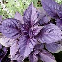 Purple basil seeds - aromatic plant seeds 100seed