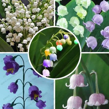 free ship Lily of the Valley flower seeds, bell orchid seeds, rich aroma, bonsai flower seed, multi-colored orchids-40 seeds
