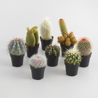 Small Assorted Live Potted Cacti Set of 3