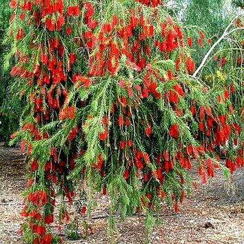 Weeping Bottlebrush Tree Seeds (Callistemon Viminalis) 30+Seeds
