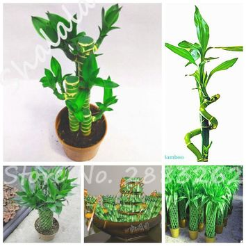 50 Office Desk Plant Rare Moso Bamboo Seeds Mini Bonsai Seeds Ornamental and Edible Plant, Rich In Dietary Fiber Heat Resistant