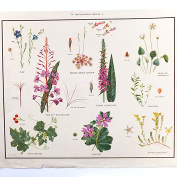 Botanical School Poster, Dorm Decor, Macmillans Nature Class Posters, Vintage Poster, Fitchew illustrations