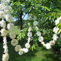 Wedding Garland Ivory Daisy Flower