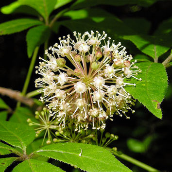 30 seeds Eleutherococcus senticosus, Acanthopanax, Siberian ginseng, adaptogenic of traditional Chinese medicine, very rare