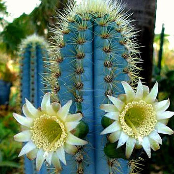 Pilosocereus azureus, Blue Torch Cactus, 20 seeds, night blooming, windowsill, xeriscape garden, full sun, drought tolerant, glorious color