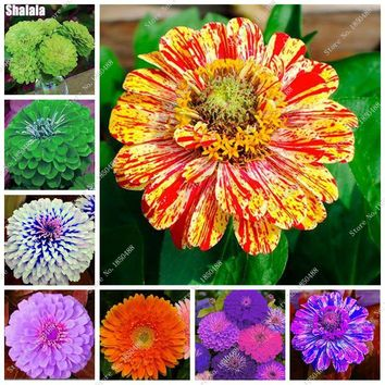 New Arrival 24 Colors Zinnia Seeds Perennial Flowering Plants Potted Charming Japan Flowers Seeds 50 Pcs /lot Like Chrysanthemum