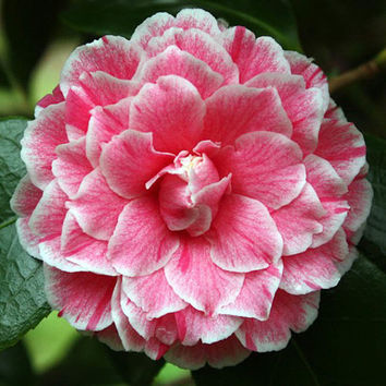 "5 Rare Camellia Japonica 'Herme"" Flower Seeds Pink White Perennial Gorgeous Beautiful Color Home Gardening Decor DIY Hot Plant"