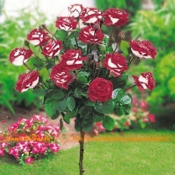 100 Seeds Pack Potted New Variety Red&White Rose Seeds Tree Seeds Strong Fragrant Garden Flowers