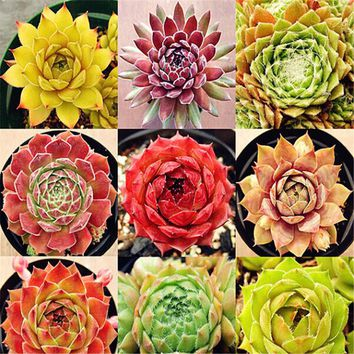 Semillas De Flores 10 mix Pcs Succulent Seeds ECHEVERIA Flesh Raw Stone Cactus Seeds for semenatsvety perennial garden