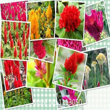 Garden 100 Giant Headed Red Cockscomb Seeds Beautiful Garden Ornament Flower Seeds DIY Free Shipping for Christmas
