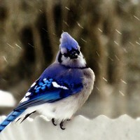 Bluejay Bird 8 x 10 Photograph Sapphire,snow,nature,winter,cold,sweet