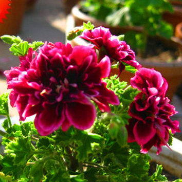 20 Crimson Petals Geranium Flower Seeds, Perennial Flower Seeds Pelargonium Peltatum Flowers